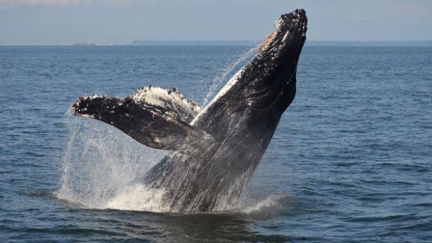 The 'comeback humpback' known as Windy breaches in the Salish Sea.