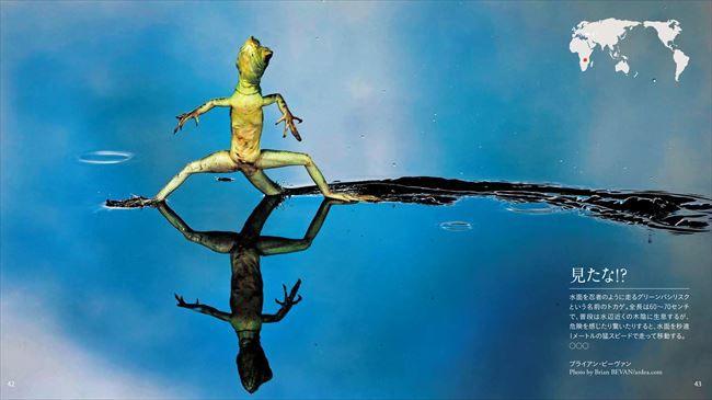 <b>見たな!?</b><br> 水面を忍者のように走るグリーンバシリスクという名前のトカゲ。全長は60~70センチで、普段は水辺近くの木陰に生息するが、危険を感じたり驚いたりすると、<br>水面を秒速1メートルの猛スピードで走って移動する(メキシコ)<br> Photo by Brian BEVAN/ardea.com