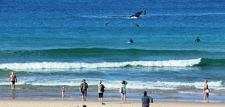 Whale coming into Bondi Beach! Awesome!