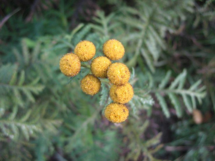 Tanacetum vulgare/ Tansy / Tanaceto / ヨモギギク(蓬菊