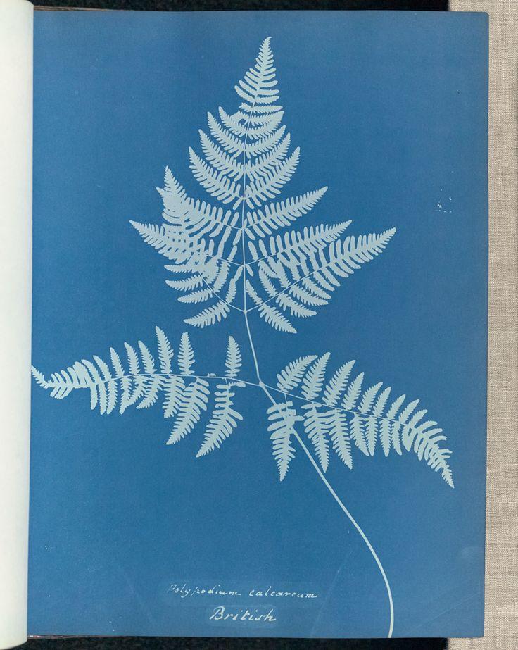 Polypodium calcareum, British; Anna Atkins (British, 1799 - 1871); England; 1853; Cyanotype; 25.4 × 19.4 cm (10 × 7 5/8 in.); 84.XO.227.8
