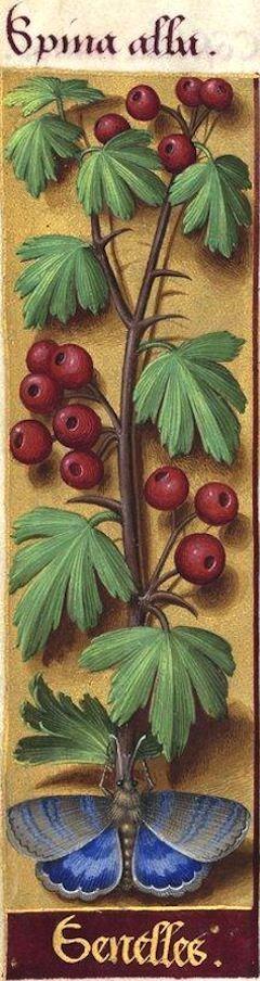 Senelles - Spina alba (Cratægus oxyacantha L. = cenelles, fruits de l'aubépine) -- Grandes Heures d'Anne de Bretagne, BNF, Ms Latin 9474, 1503-1508, f°102v