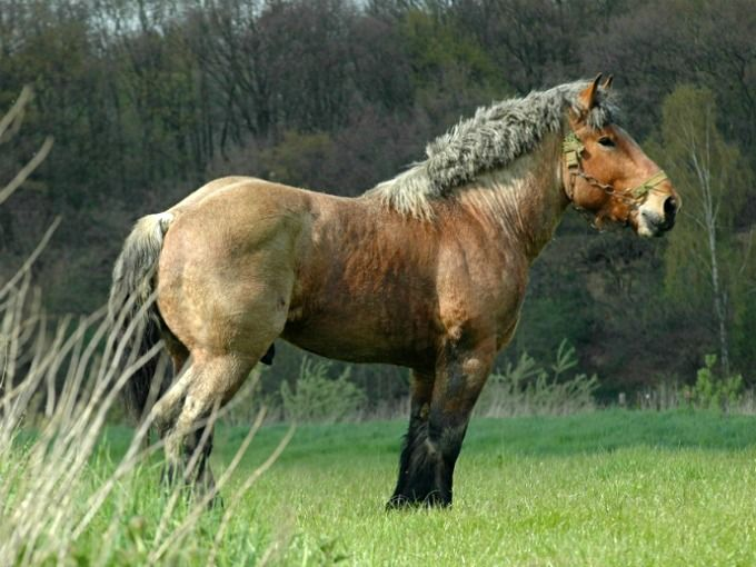 Brabant Trekpaard, or Belgian Heavy Horse stallion. Beloved in Belgium, it is probably the most influential draft horse, used in developing many other familiar draft breeds. photo: Ton van der Weede.