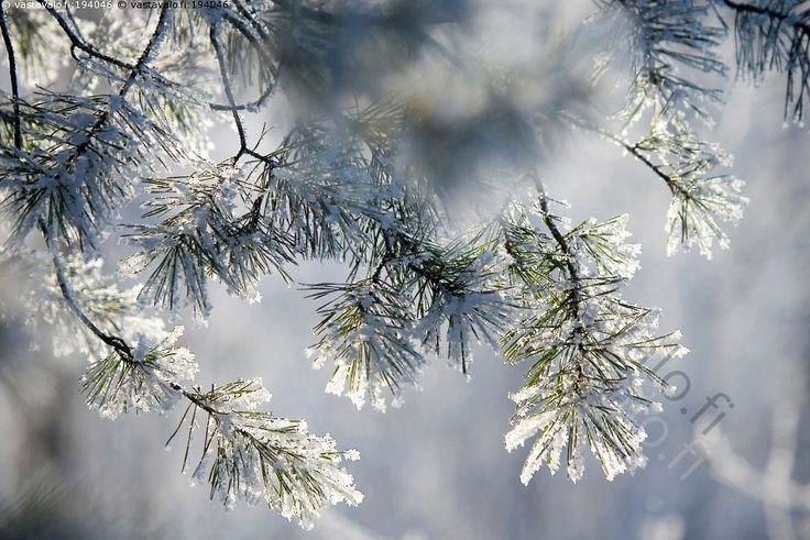 Mänty - puu oksa mänty Pinus sylvestris neulanen neulaset talvi lumi kuura pakkanen kylmä vastavalo kirkas aurinkoinen talvipäivä