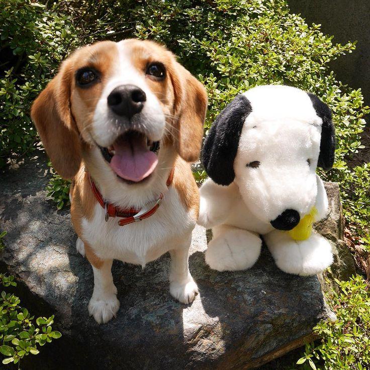 Snoopyとビーグル。