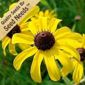 how to cut back black eyed susans