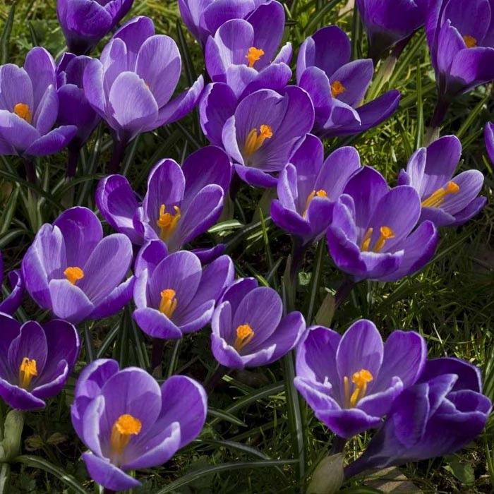 Buy Our Crocus U0027Remembranceu0027 Bulbs From The Roses, Seeds And Bulbs Range At  Highgrove.