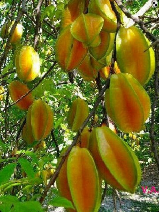 Type of tree with edible fruits fruit pinterest flora and plants - Fruit trees every type weather area ...