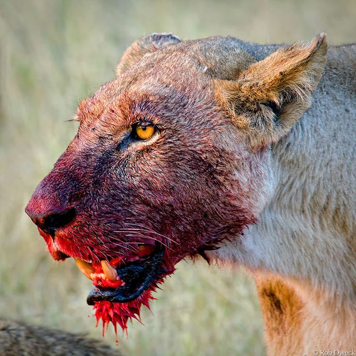 Lions, like men, have among their number the courageous and the cowardly ~ Ibn Munqidh
