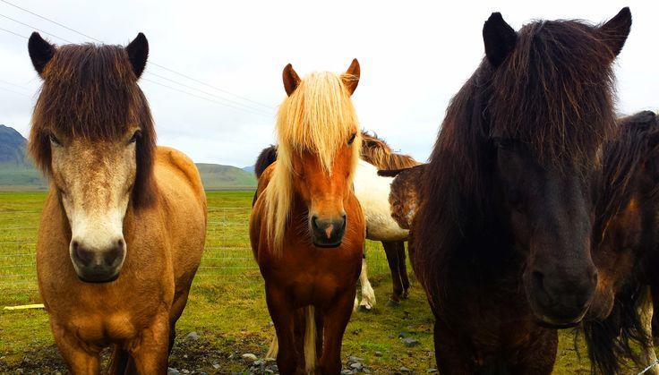 Icelandig horse