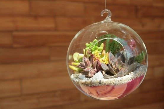 Succulents in glass sphere: @Meg Martinez I'm going to hang this from my ceiling, above my fireplace, just to the right. With just one succulent in it. My others are growing so well!