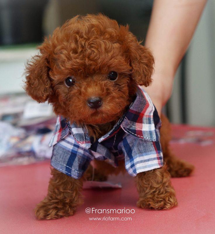 Cute red poodle puppy  www.riofarm.com