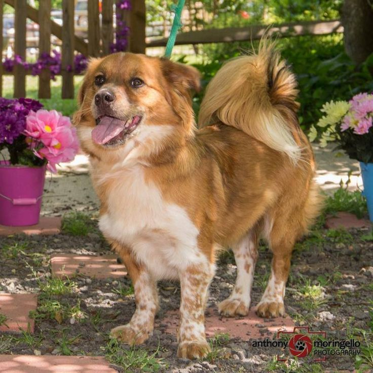 Hi Guys! I'm Luke and I'm about the most enthusiastic dog you'll ever meet. If you are looking for a medium-sized, handsome dog -- I'm your boy. I may have some Sheltie mixed in as I am very soft and have a wonderful, fluffy tail. I do have a lot of energy and I just love to go for walks and play in the play yard. Come and walk with me soon. Can't wait to meet you! Smiles and tail wags forever. Love Luke For more information, pictures, and an application, please refer to his page at…