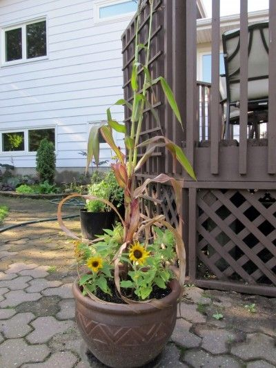 Mini Corn Plant : Container grown corn can you grow in containers