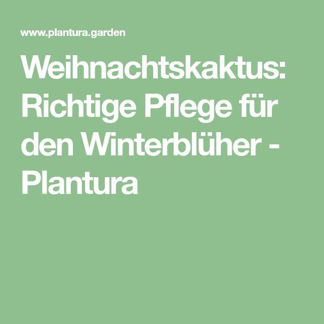 Weihnachtskaktus: Richtige Pflege für den Winterblüher - Plantura