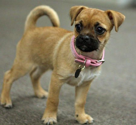 Look like the perfect pet and pug and  german shepherd mix lol :)  looks cute to me by bridgette.jons
