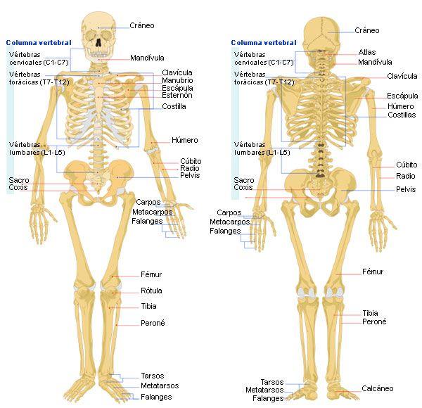 Esqueleto humano, con el nombre de los huesos.