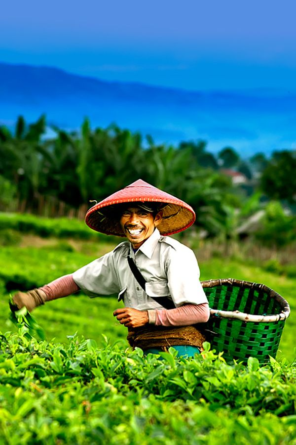 Tea Picker in Bandung, Indonesia