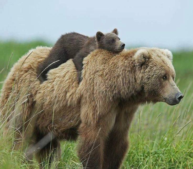 MOM BEAR  Bear with cub in Hallo Bay, Alaska, by David Silverman