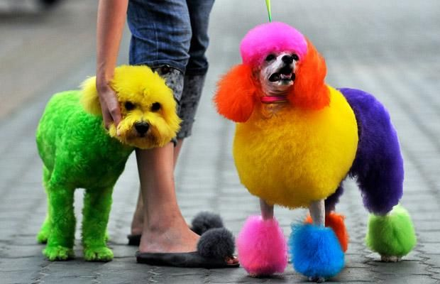 The only reason I would own a poodle.: Colors, Pet, Dogs Grooms, Poor Dog, Rainbows, Poodle Color Pink, Hair, Dyes, Animal