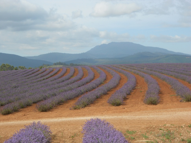Fields of dreamy lavender