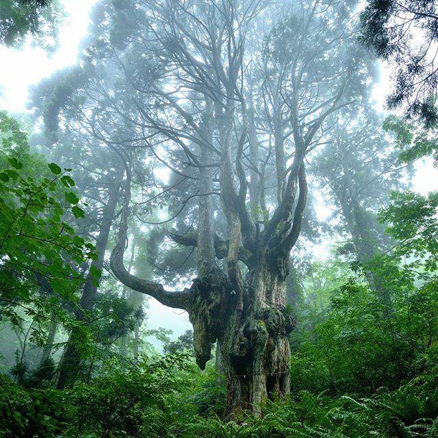 キャプション→今日は雨の隠岐の島。こんな天気の時には山!!隠岐は海だけではなく山も魅力的なんです(^^)b今日は岩倉の乳房杉(ちちすぎ)に行って来ました樹齢約800年、樹高30m、幹囲5mの巨木です。実際目の前にすると思わず手を合わせたくなる物凄い存在感です!!「こだま」が住んでいそうな雰囲気、伝わりますでしょうか?(*^^*) #思わず #合掌する #オサーン #まるで #こだまの住む森 #nikon #隠岐の島 #島根県 #岩倉の乳房杉 #森 #空 #ダレカニミセタイソラ #ダレカニミセタイケシキ #風景 #okiilands #shimane #forest #sky #landscape #divine #holy #nature #instagood #instapicture #instanature #tokyocameraclub #ファインダー越しの私の世界 #写真撮ってる人と繋がりたい #写真好きな人と繋がりたい ユーザー→k_style_photograph 場所→
