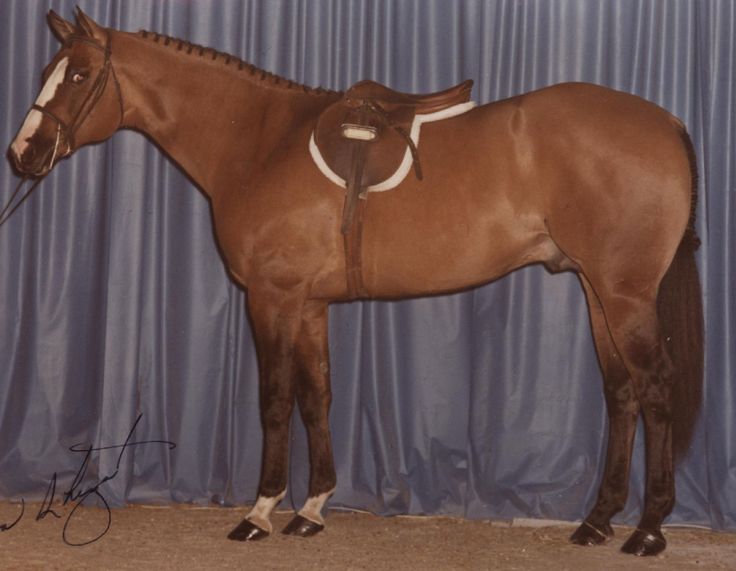 Check out this stud! Impressive Chase is a 1979 dun #QuarterHorse #stallion by Impressive out of Josie D Chase. Impressive Chase became an #AQHA World Champion in pleasure driving in 1983, along with a reserve champion title in junior working hunter under saddle. He sired seven foals, five of which earned their #AQHA Registers of Merit. #AQHAProud #GTH