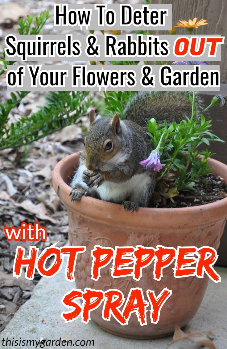 How To Deter Squirrels And Rabbits From Your Flowers Flowerbeds And Garden By Using Hot Pepper Spray Stuffed Hot Peppers Squirrel Repellant Rabbit Repellent