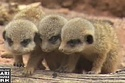 A Ludicrously Cute Baby Meerkats Video