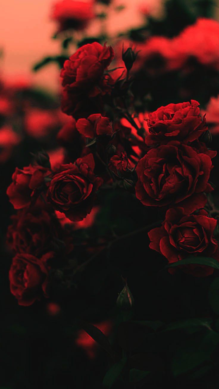 Wallpapers For Iphone Xr Tumblr Wallpapers For Iphone X Reddit Wallpaper Iphone Roses Valentines Wallpaper Red Roses Wallpaper