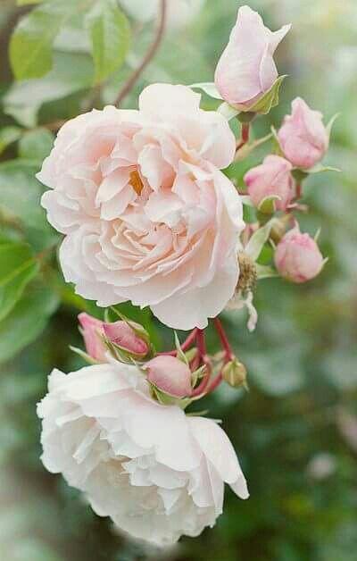 1460 Best Images About Rose Garden Designs On Pinterest
