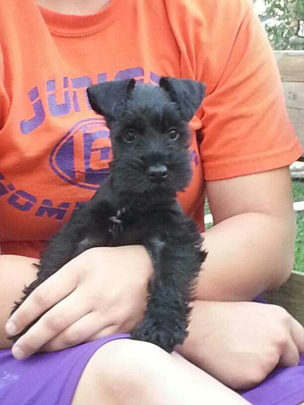 Most cherished puppy ever!!! Link: https://www.sunfrog.com/search/?64708&search=schnauzer&cID=62&schTrmFilter=sales