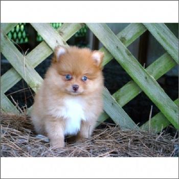 1000+ images about Pomeranians for sale!!!!! on Pinterest | Pomeranian ...