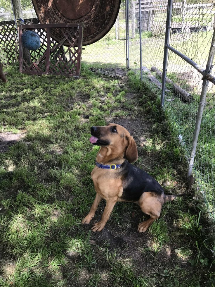 17 best ideas about bloodhound dogs on pinterest