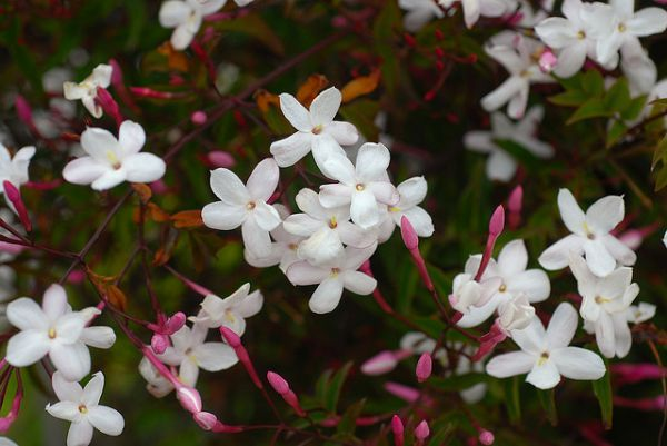 Jasminum 'Officinale' scented white jasmine climber LONG FLOWERING STRONG SCENTED VARIETY