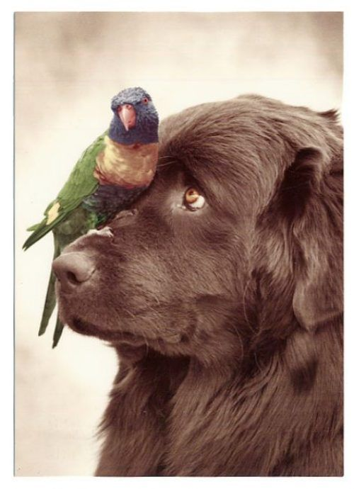 Newfoundland dog with parrot.