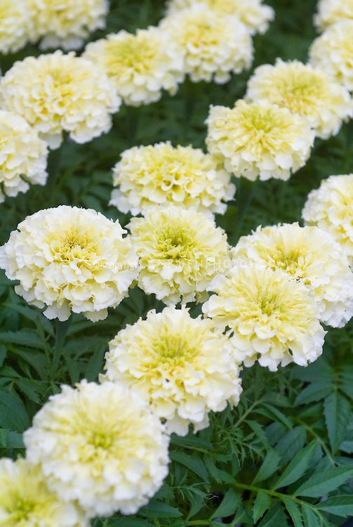 Marigold Sweet Cream Tagetes Erecta White Hybrid
