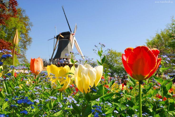 Tulipany, Wiatrak