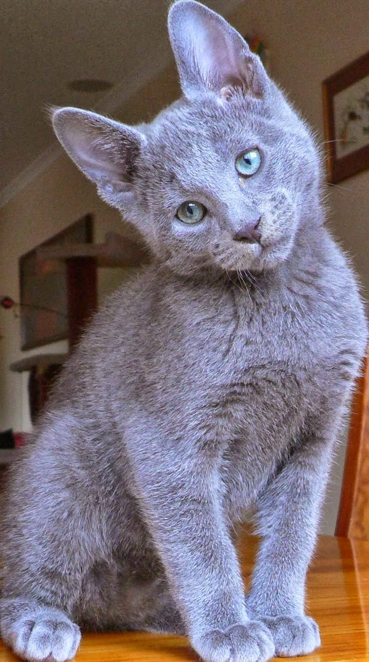 Russian Blue - Top 5 Most Expensive Cat Breeds