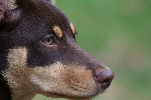Australian Kelpie Dog. I've never heard of these stunning dogs before -- they're absolutely beautiful!