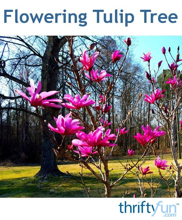 Never heard of a tulip tree until today. I've seen these before. #tuliptree #gardening #spring We've planted a tree for each new grandchild and this tulip tree with its beautiful red blooms is our grandson's tree.