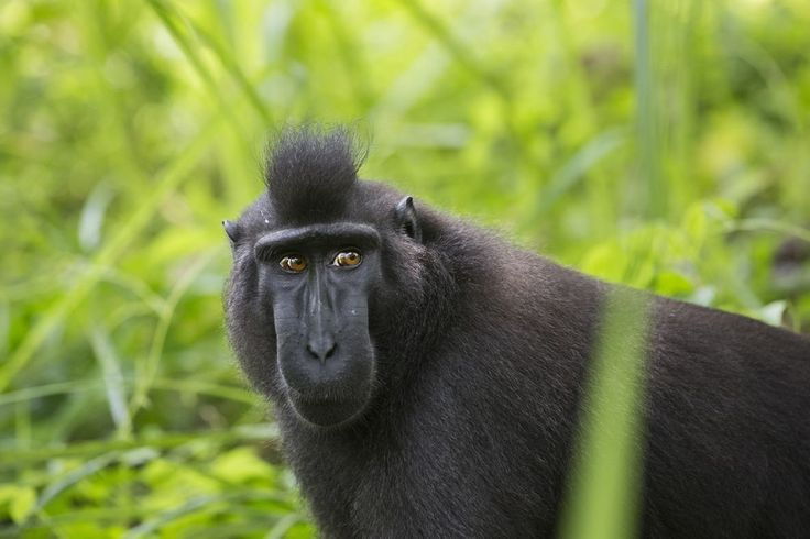 """""""The Black Monkey"""" Photo by Emanuele Del Bufalo -- National Geographic Your Shot"""