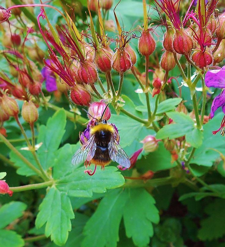 Bij op Ooievaarsbek - in mijn tuin