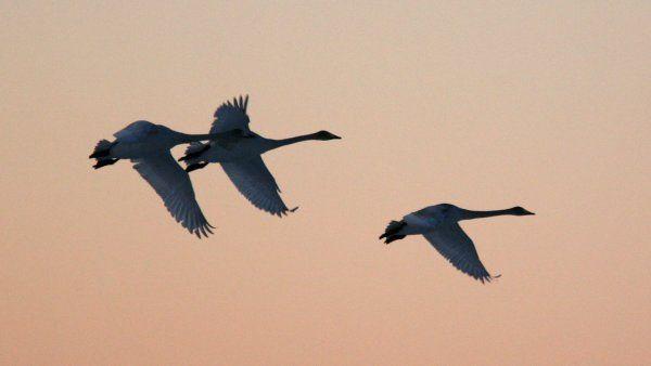 Kolme joutsenta lentää taivaalla. Kuva: Raine Martikainen/Yle