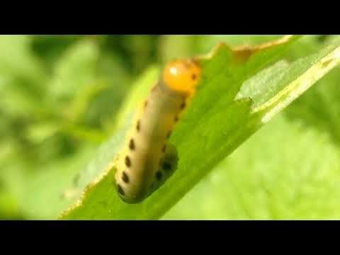 Nature Video, 自然 映像, しぜん どうが, приро́да изображе́ние, 자연 영상: [KakaoTV 벅스라이프]The caterpillar is eating Curled dock leaves. Allantus luctifer,  黑翅黑葉蜂, ハグロハバチ, Curled dock, ナガバギシギシ, 皱叶酸模, 소리쟁이, 검정날개잎벌 애벌레,  larva, 幼蟲, 壤虫, ようちゅう, larve, Larvae, sâu con, ตัวอ่อน, लार्वा
