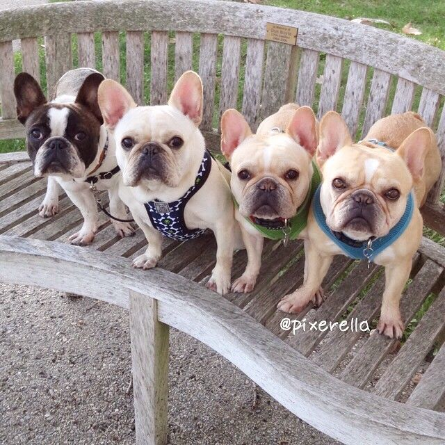 I Let out a little yelp when all four of these French Bulldogs looked at me simultaneously! It's gonna be a good day. Lol by pixerella http://ift.tt/1xgTlBW