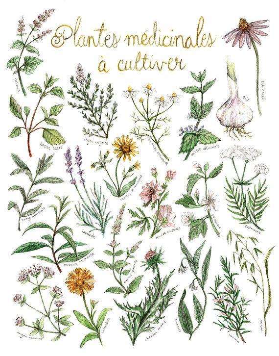 Tirage dun de mes dessins fait au crayon et à laquarelle  Il sagit dune petite affiche présentant 21 plantes médicinales quil est facile de faire pousser dans le jardin. Avec chaque affiche est fourni un petit aide-mémoire sur papier cartonné mesurant 5,5 x 8,5 et indiquant le nom des plantes, quelques-unes de ses propriétés médicinales et de quelles façons les utilisées.  En espérant que ce dessin en motive quelques-unEs à envahir leur cours ou leur balcon de plantes médicinales et de…