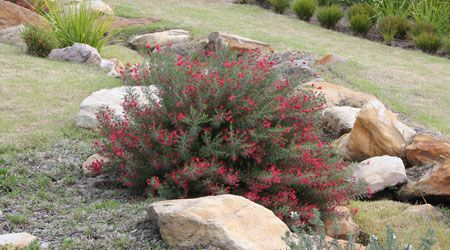 CRIMSON VILLEA™ is a tough, compact Grevillea