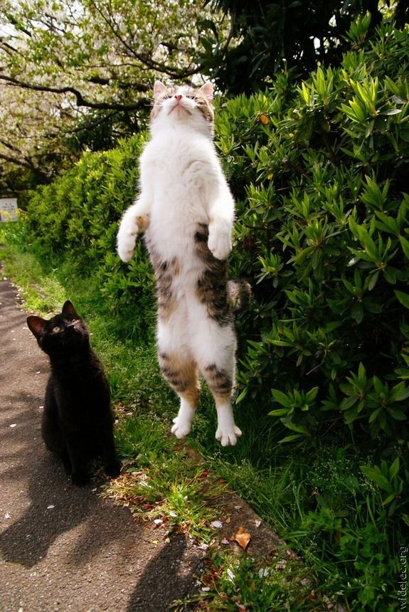 THE VERY RARE WHITE-CHESTED VERTICAL JUMPING CAT