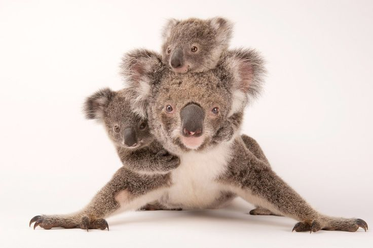 Koalamoeder met tweeling – Foto van de dag